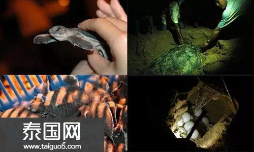 马来西亚海龟下蛋聚集的7大绝美海滩